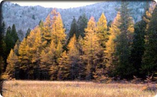 Conifer Swamp (Spruce Swamp)