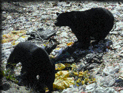 Black bears at Adirondack dump