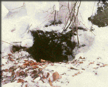 Black bear den