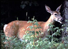 Side view of a White-tailed deer
