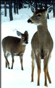 Adult and Child White-tailed deer