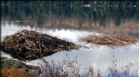 Beaver lodge and winter food cache