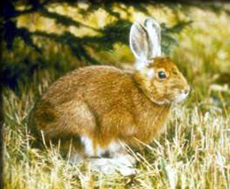 Adult snowshoe hare in summer pelage