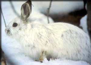 Adult snowshoe hare in winter pelage