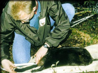 AEC researcher measuring young beaver
