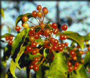 Pin cherry fruits