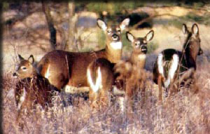 Groupd of White-tailed deer