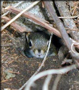 Juvenile red squirrel peeking from