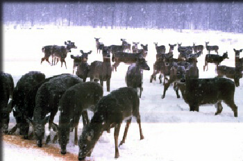 Feeding Adirondack Deer in Winter