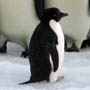 Image of baby emperor penguin