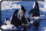 Orcas off the stern