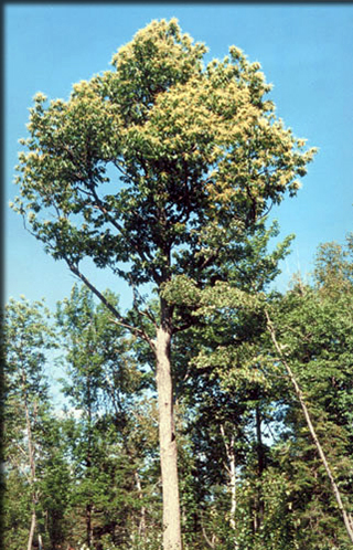 Background on American chestnut and chestnut blight The American