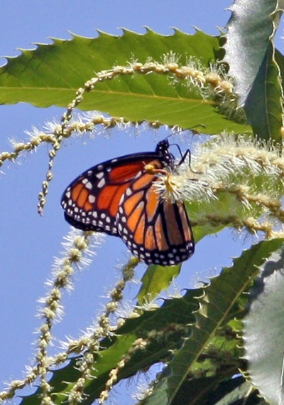 monarch butterfly in young tree