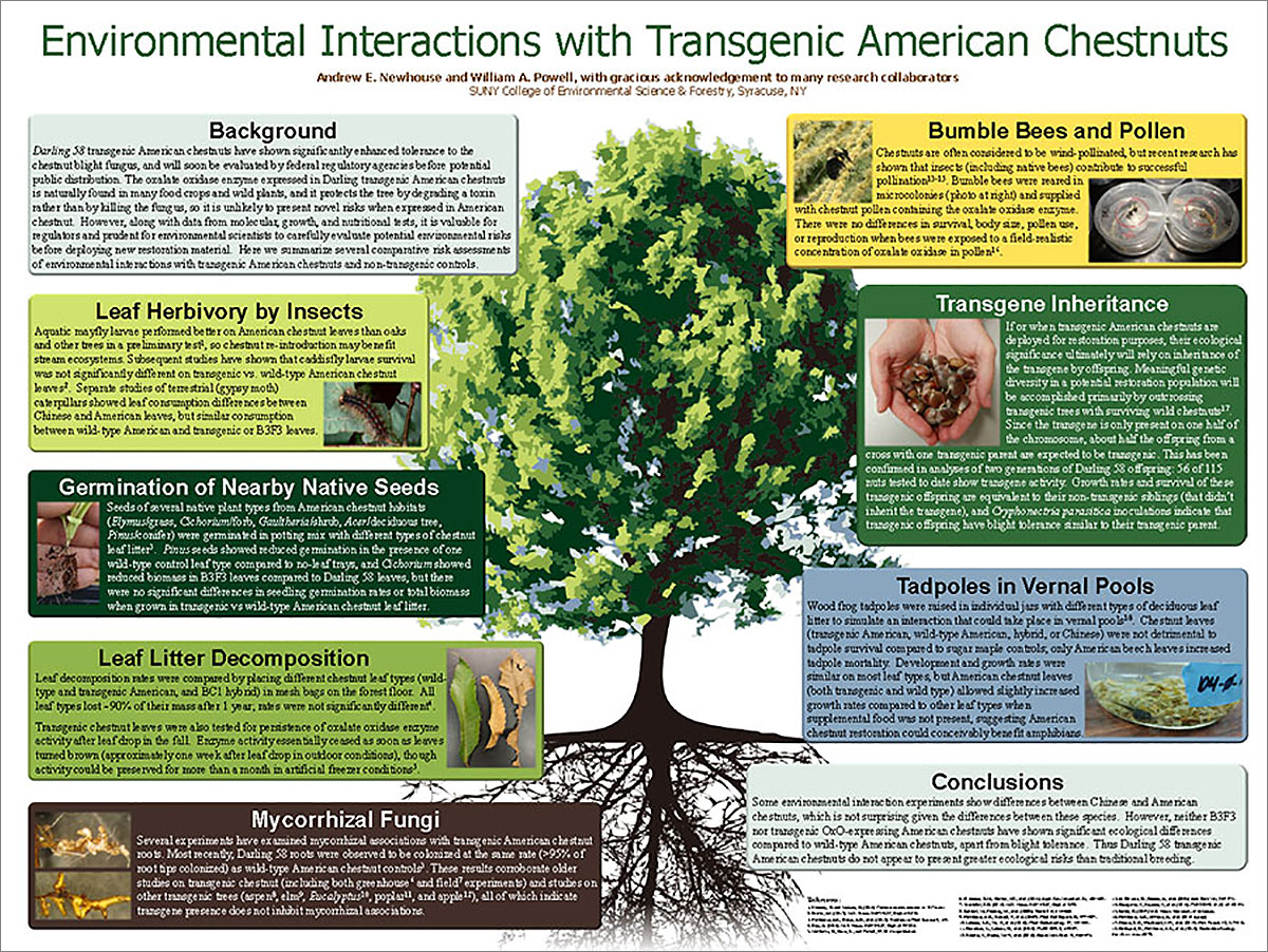 thumbnail image of poster: environmental interactions with transgenic chestnuts