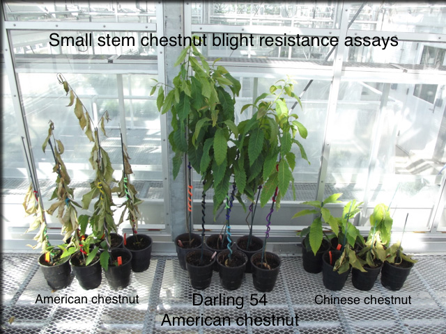 Small Stem Chestnut Blight