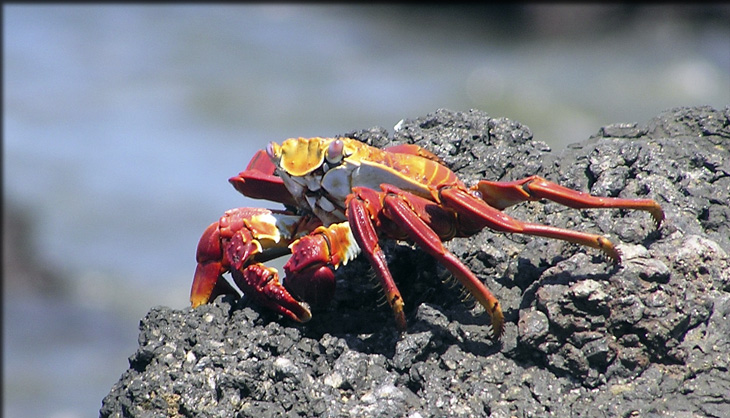 red and orange crab