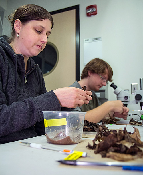 Research technician Cody Gilbertson, left, and undergraduate Ashton Yost prepare snails for transfer from an ESF lab to Chittenango Falls. The snails were relocated to the falls this week.