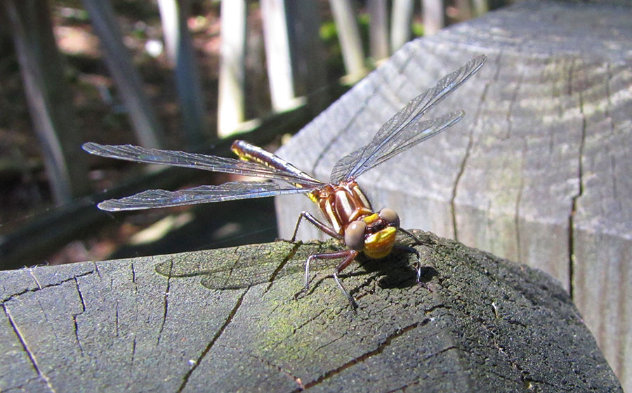 Dragonfly at ESF
