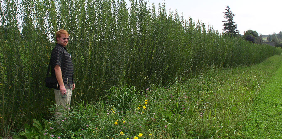 Tim Volk and row of shrub willow
