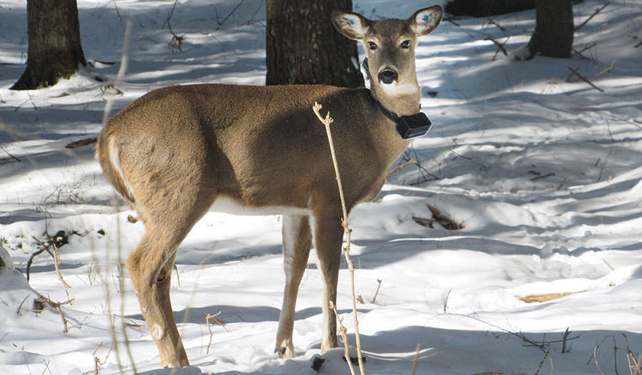 The single most prominent species in a study of mortality among terrestrial vertebrates was white-tailed deer.
