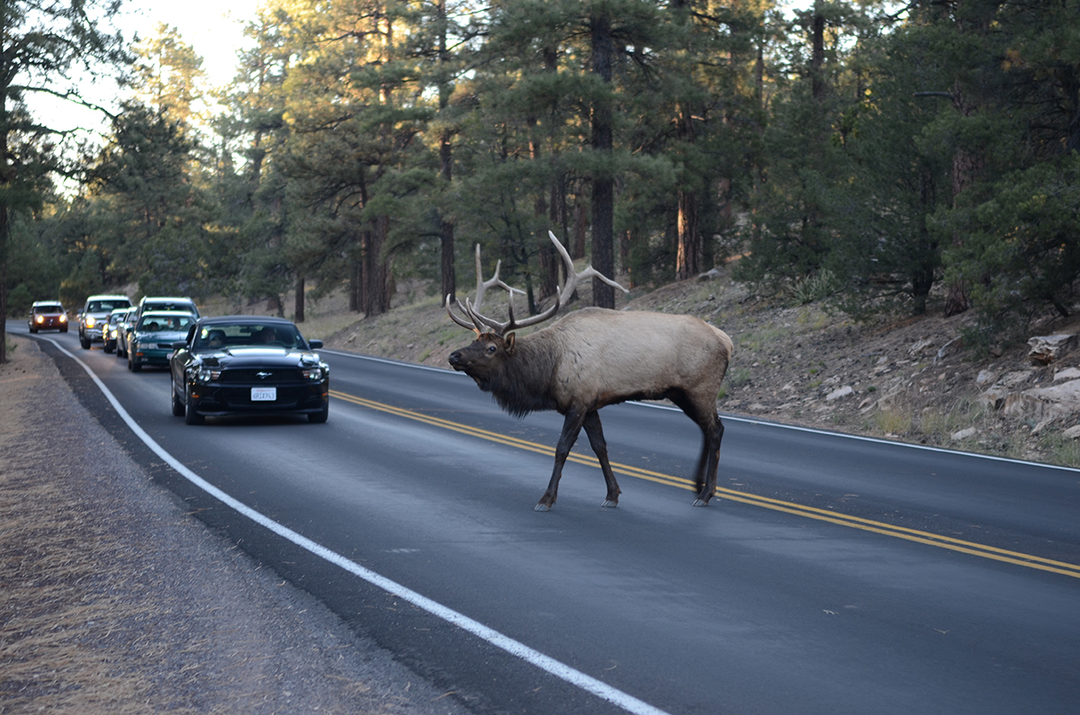 An elk crossing the road while cars wait. Photo by Noel Reynolds.