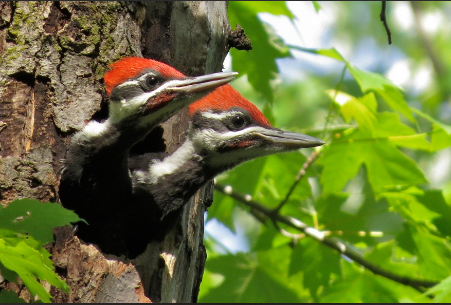 Pileated woodpecker checks peek out of their nest hole.
