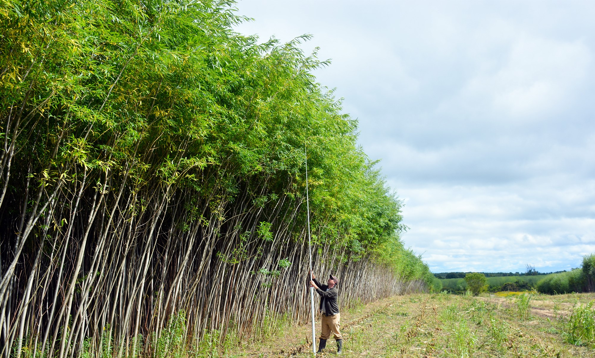 A researcher measures shrub willow to see if it