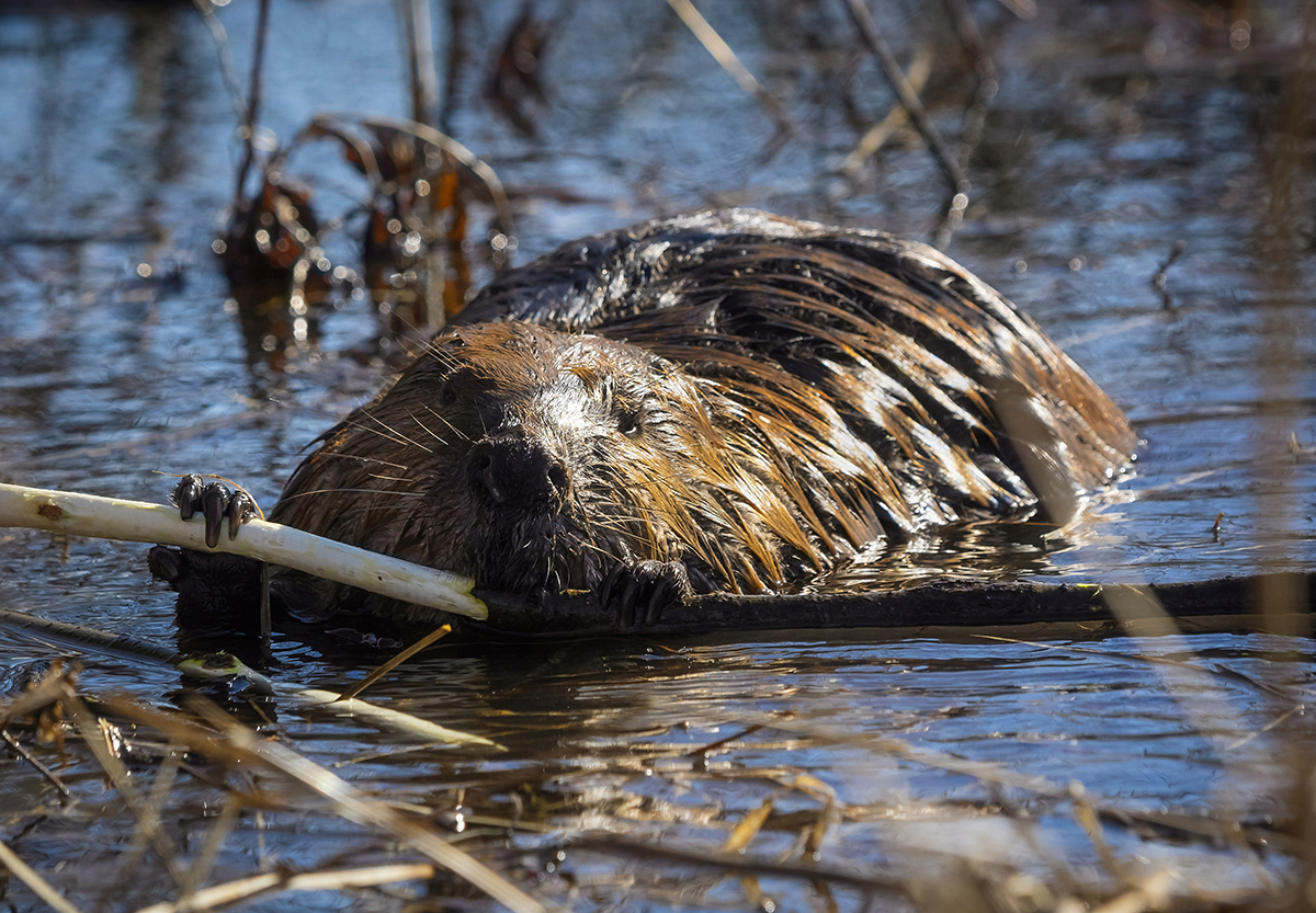 A beaver collects material for a dam
