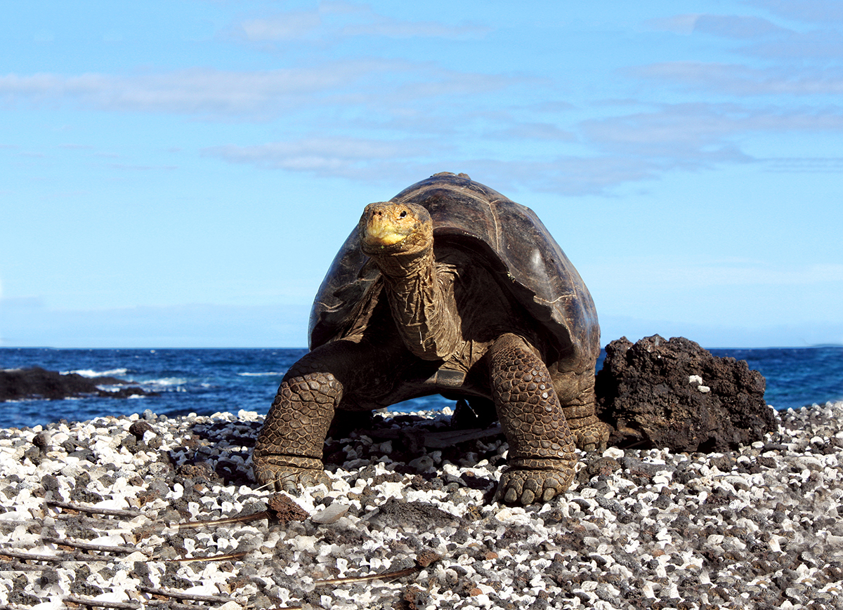 A tortoise pauses on a gravel beach in the Galapagos Archipelago