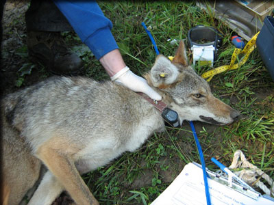 Coyote fitted for collar