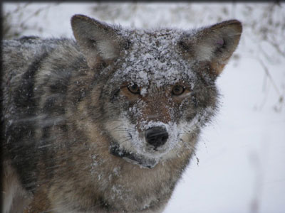 Snowy coyote with collar