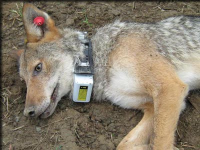 Coyote fitted with collar