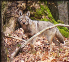 Population status and foraging ecology of Coyotes in New York State
