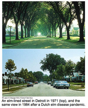 An elm-lined street in Detroit in 1971(top image), and the same veiw in1984 after dutch elm disease pandemic (many trees gone)