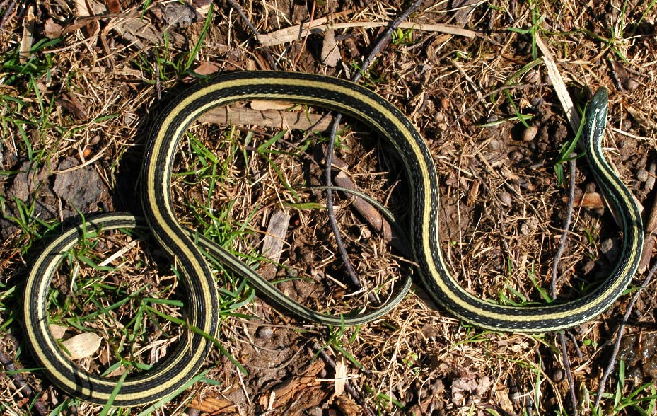 Ribbon snake (eastern and northern subspecies)