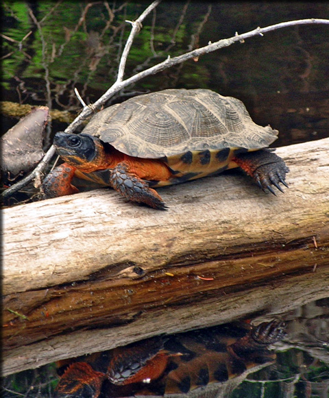 turttle on log