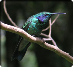 Image of a hummingbirg from Honduras
