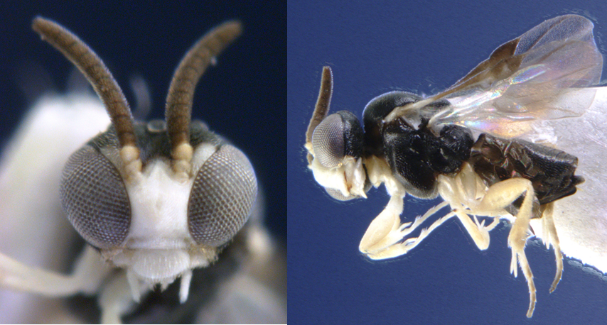 Dive-bombing Wasps