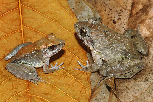 Indonesian Frogs