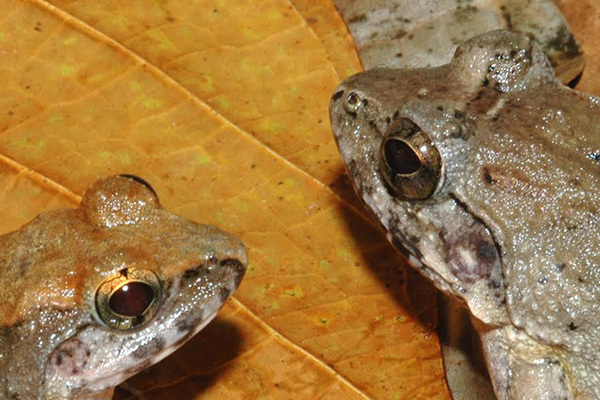 Indonesian Frogs close up