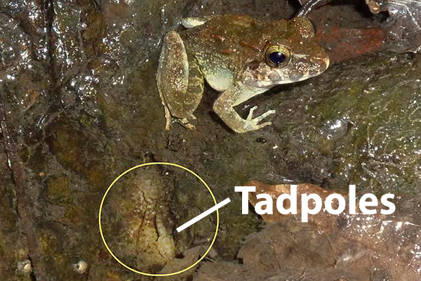 Indonesian Frog with tadpoles