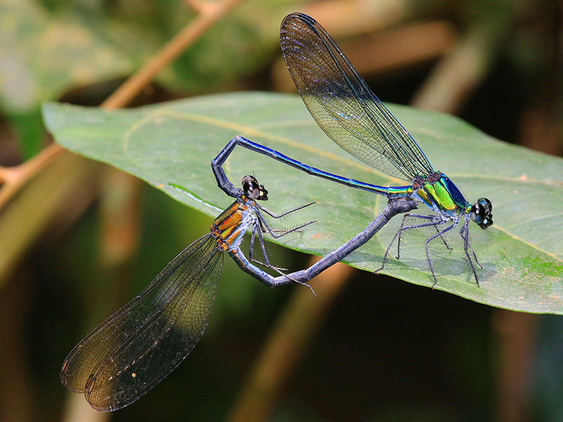 Sparklewing mating