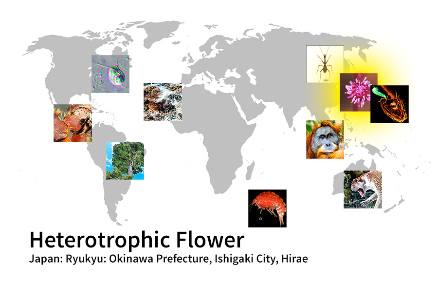 map showing location of Heterotrophic Flower Japan: Ryukyu: Okinawa Prefecture, Ishigaki City, Hirae