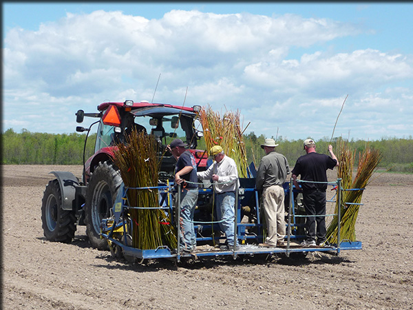 planting a willow crop