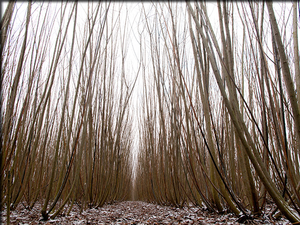Mature willow crops in winter