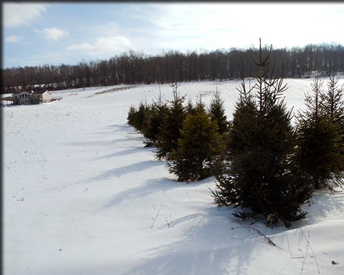 Bundle of spruces in winter